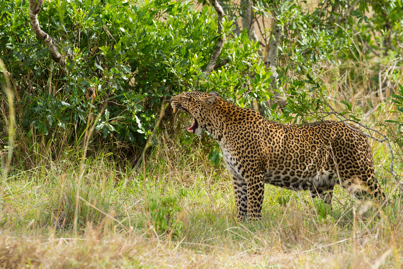 Yawning Leopard