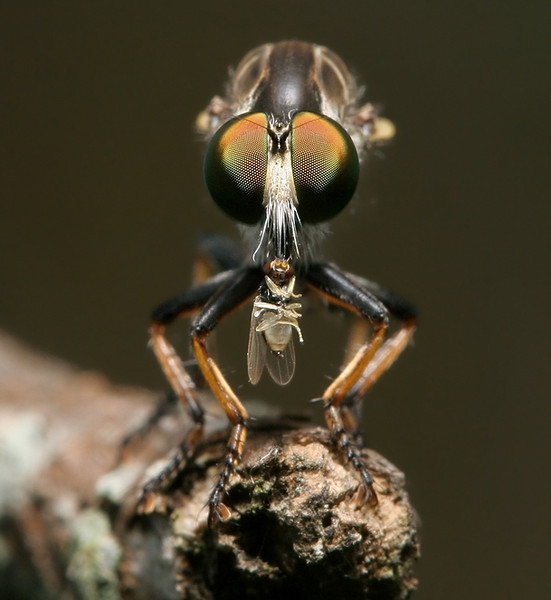 Robber Fly Eats Small Fly