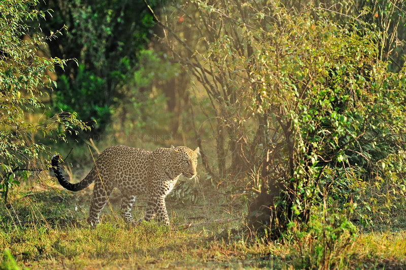 African Leopard (Panthera pardus pardus) at sunrise in the woodlands of Masai Mara in Kenya, Africa