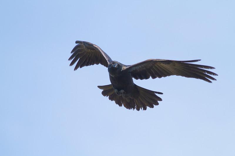 Common Raven in flight over Hawk Ridge Bird Observatory Duluth MN IMG_0253.jpg