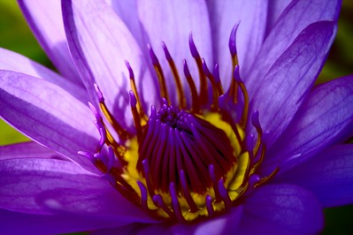 Getty Villa - Purple Lotus 2