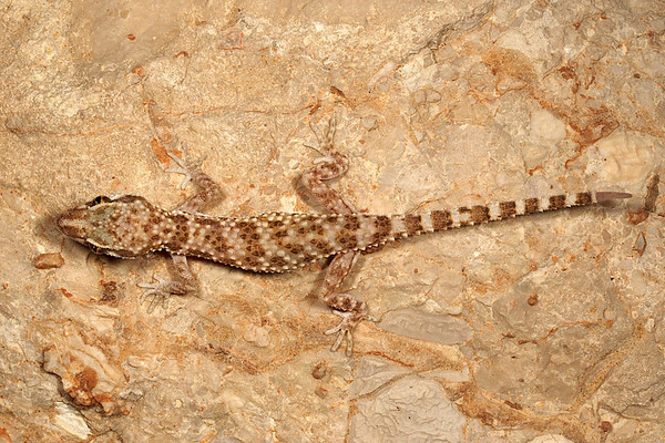 Baluch Ground Gecko