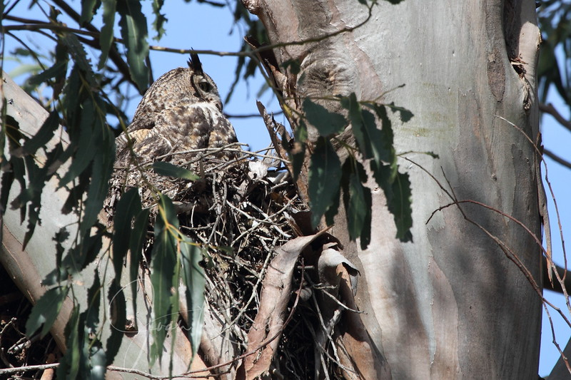 2012-04-16_Owl in the parking lot_IMG_4381.JPG
