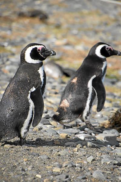 Penguin_Colony_074.jpg