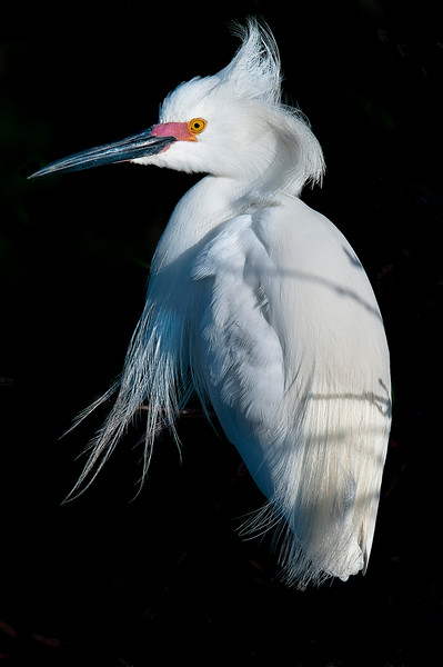Morning Light,  Cattle Egret    #941