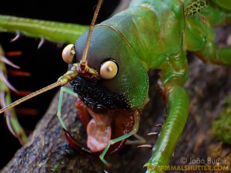 Giant predatory katydid