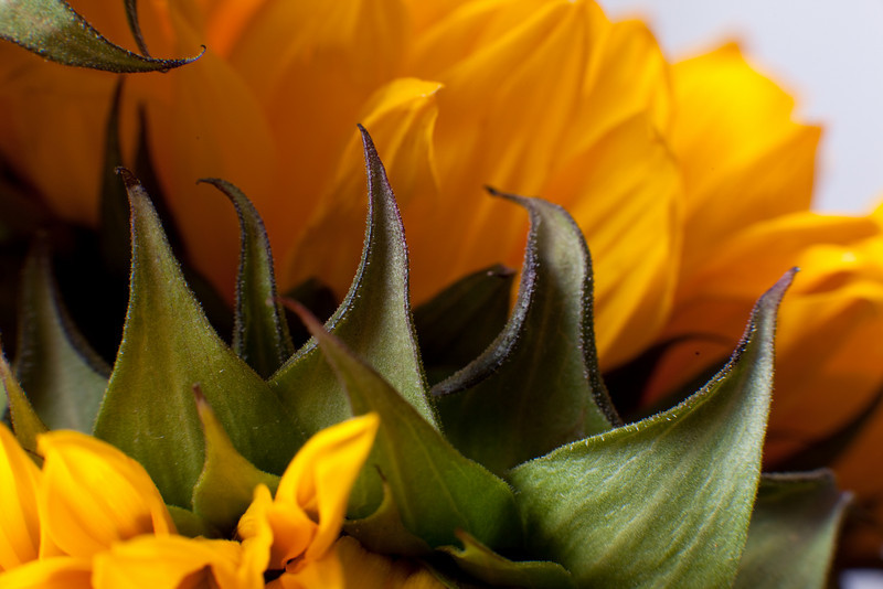 Intimate scenes of nature: firey and dynamic form of a sunflower's leaves... evoke sharpness...