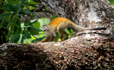 Monkey, Red-backed Squirrel-Monkey