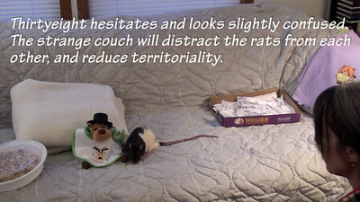 Introducing Rats to Rats, Notes by Lindsay Pulman