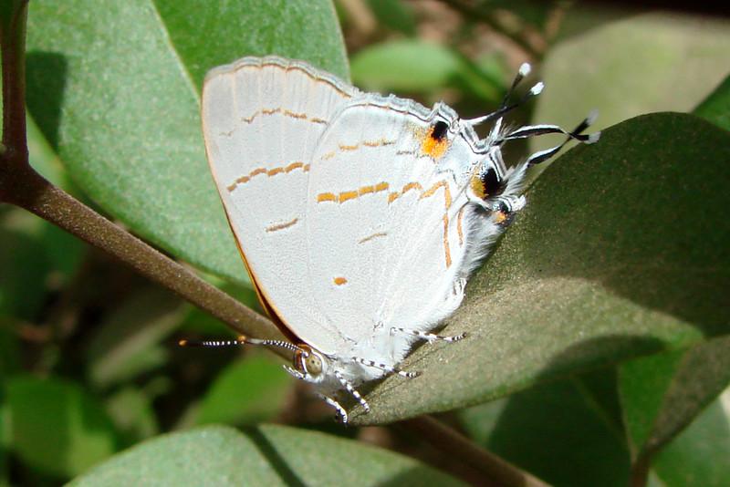 Hypolycaena philippus philippus (Common Hairstreak) 443.  Senegal: Dakar, 2 June 2007.