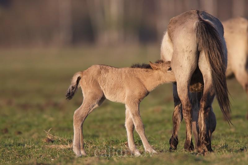 A colt of semi-wild horses in Kemeri national park