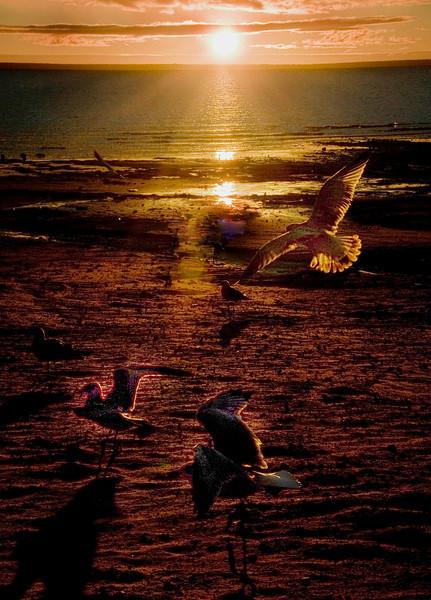 Sea Gulls in flight  - Copy.jpg