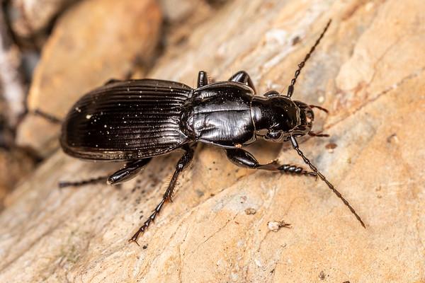 Unidentified ground beetles