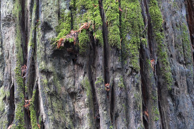 Redwood moss