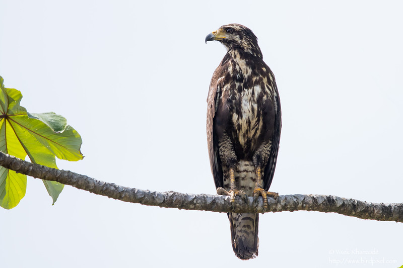 Common Black-Hawk - Juvenile - Nariva Swamp, Trinidad