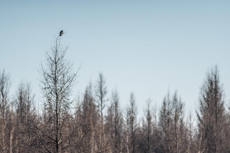 Northern Hawk Owl Zim Road Yoki Road Sax-Zim Bog MN DSC03064.jpg