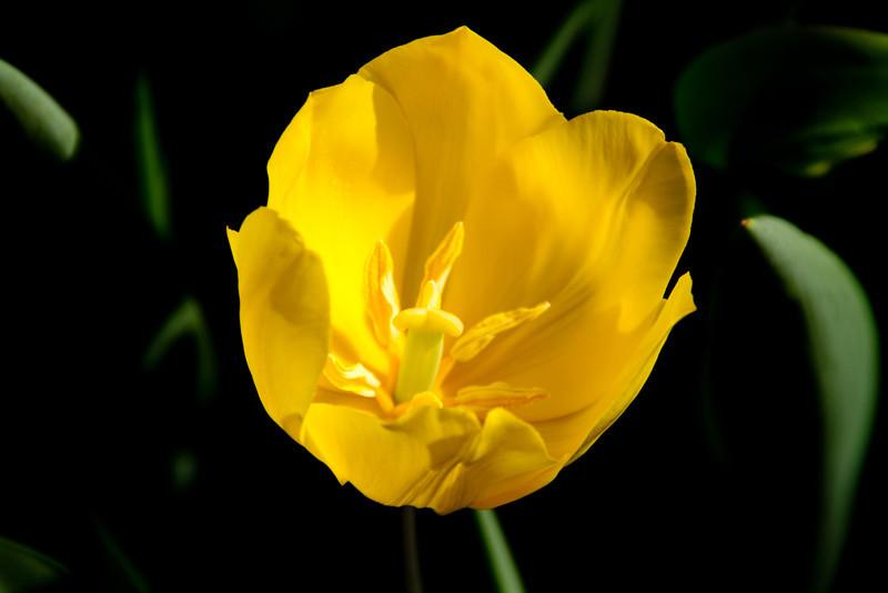 1st - Pella Tulips and Pelicans