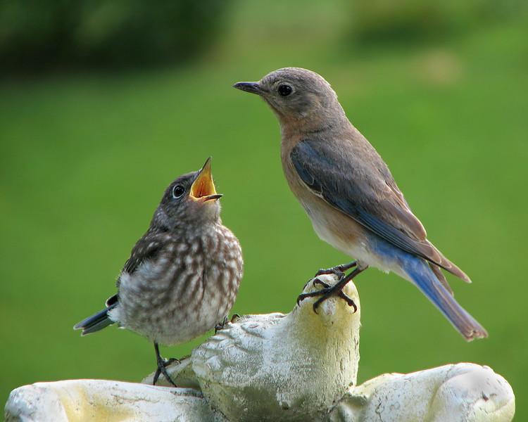 bluebird_fledgling_4642_2.jpg