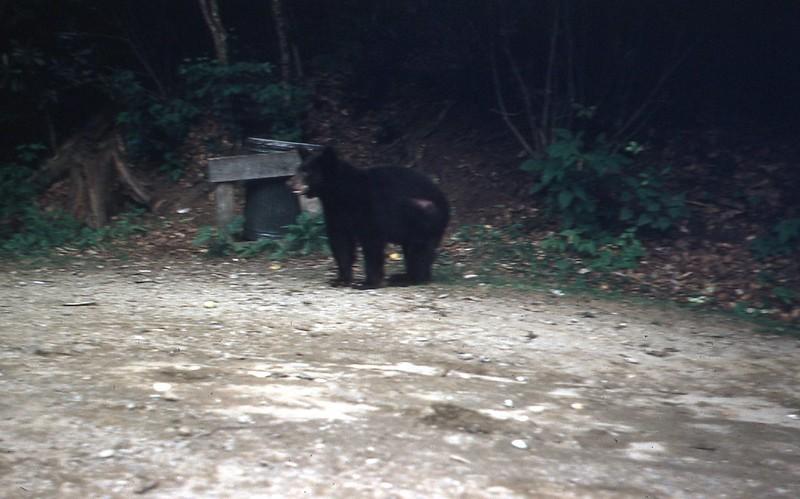 1954 - Bear in Smoky Mt..jpg