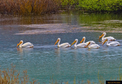White Pelicans of Oxbow Bend Grand Teton National Park