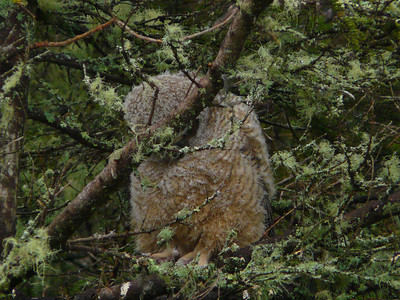 Great Horned Owl family 7