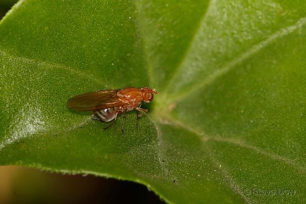 Vinegar Flies