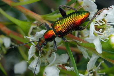 Tenebrionidae - Darkling Beetles