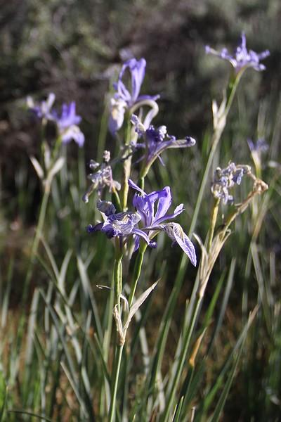 field of lilys