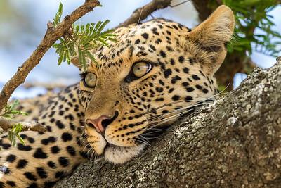 Tanzania 2017 Leopard