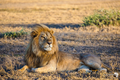 Regal Pose of a Lion