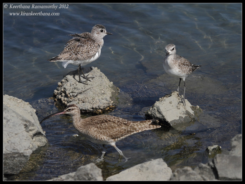 Black-bellied Plovers and Whimbrel, Robb Field, San Diego River, San Diego County, California, February 2012