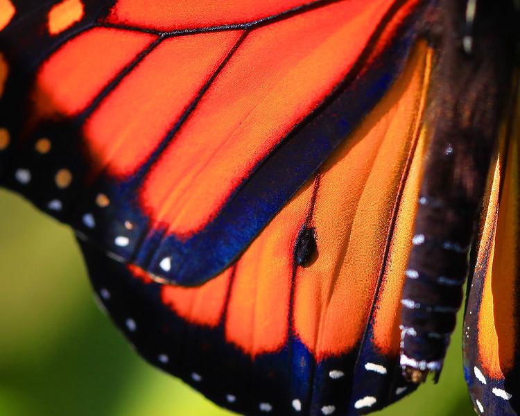 Monarch 02.jpg