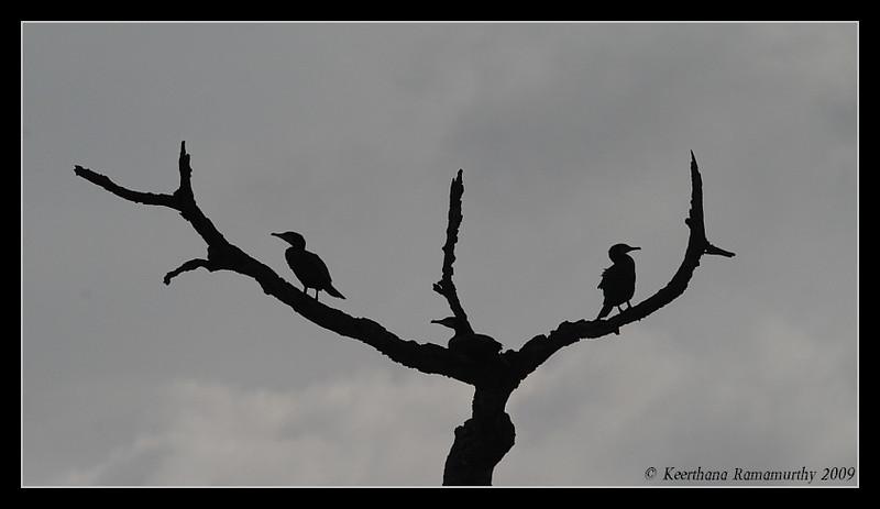 Great Cormorant, Kabini, Mysore, Karnataka, India, June 2009