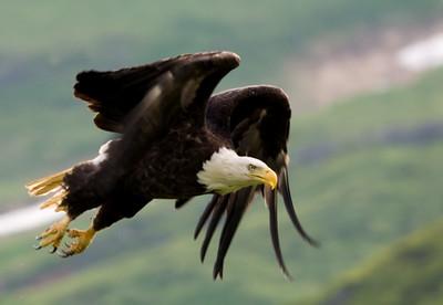 Eagles of Unalaska, AK