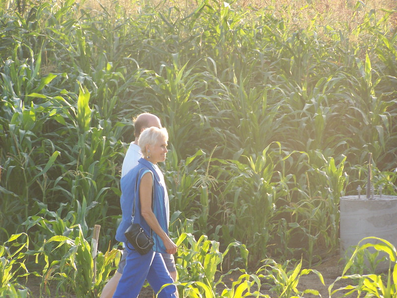Corn was grown on almost the entire site of the Los Angeles State Historic Park by Lauren Bon as the core component of her Not-A-Cornfield project.