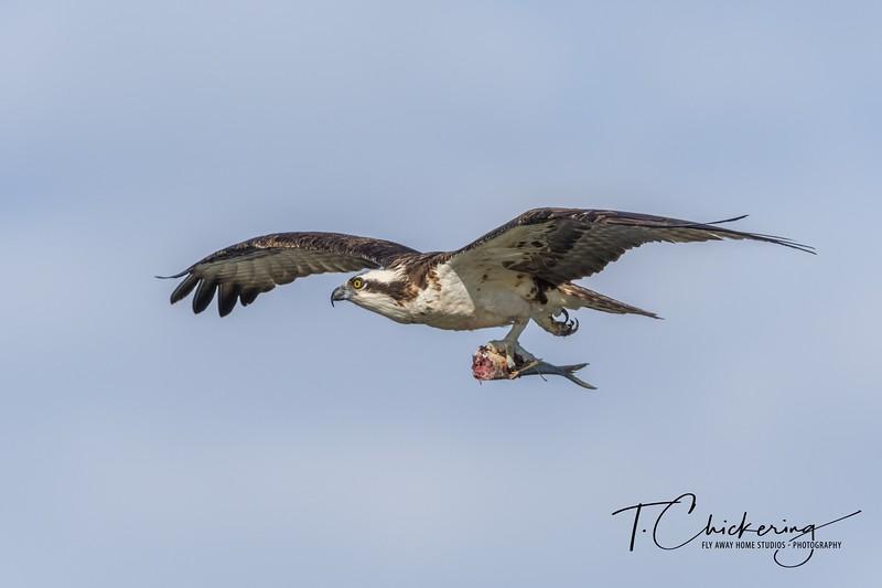 Osprey in Flight with Fish 2.jpg