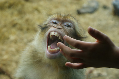 Barbary Macaque - Berberiapina