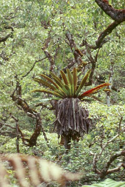 Asplenium nidus