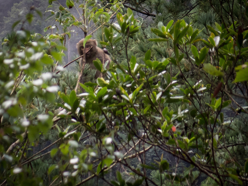 Formosan rock macaque, endemic to Taiwan