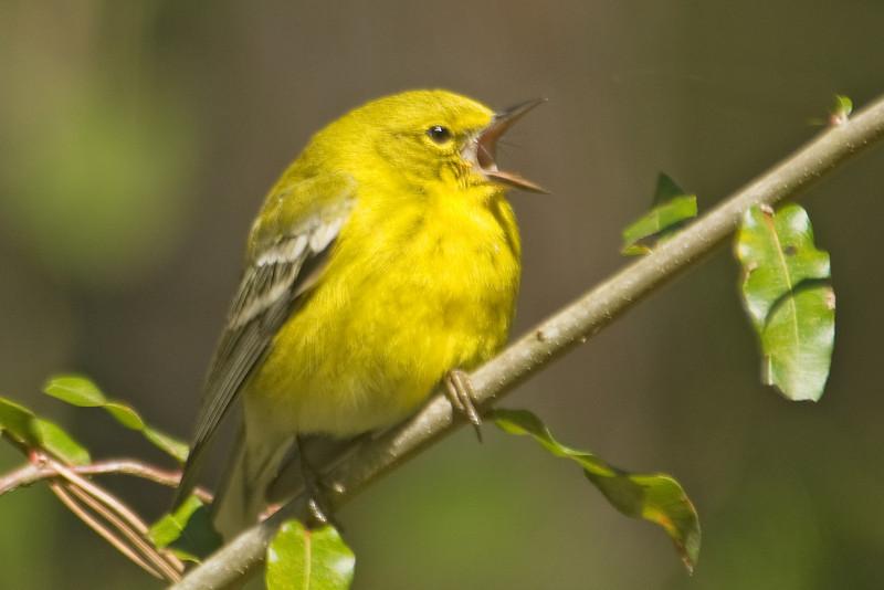 Warbler - Pine - Harris Neck NWR - GA