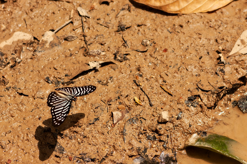 A butterfly presumably launching off the mud along the road in Tonsai.