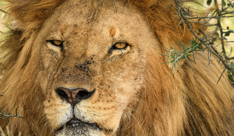 Lion-fierce-tanzania.jpg
