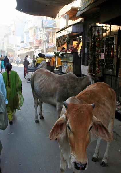 random street cows.  jodhpur, rajasthan