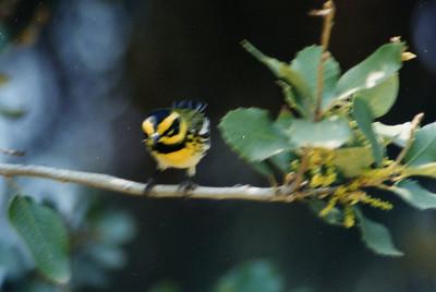 BIRDS: Warblers (Parulidae)