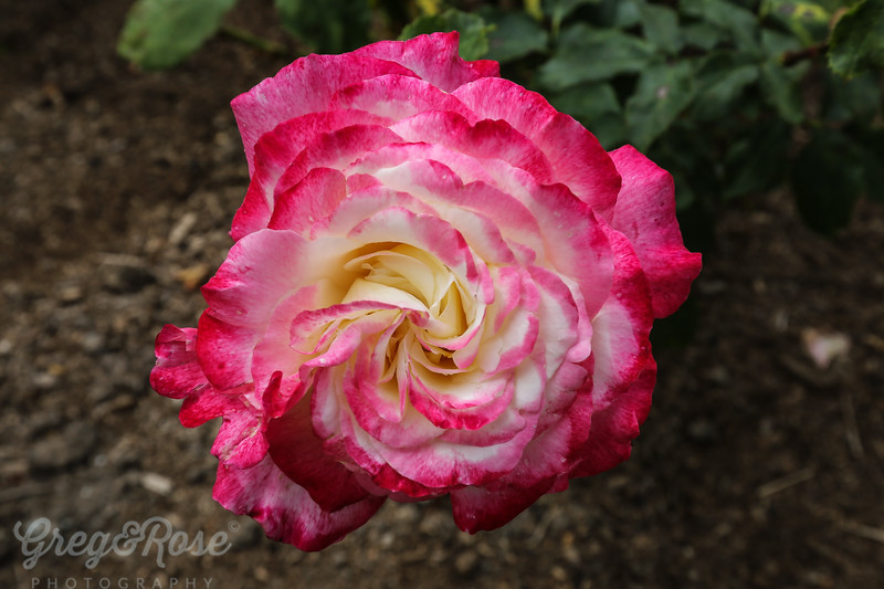 Rose -Double Delight 2