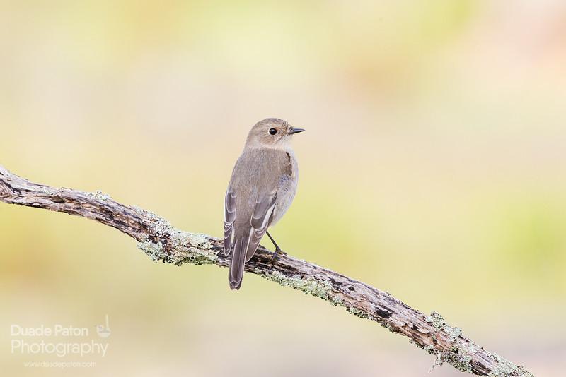 Flame Robin - Female