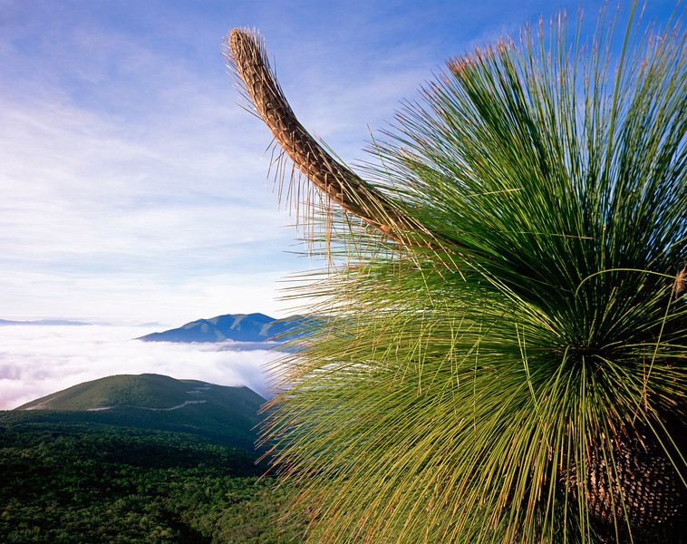 Tamaulipas, Mexico / Sotol, Dasylirion longissimum, with emerging flower stalk over the fog shrouded Sierra Madre Oriental.  1003H2