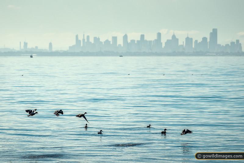 Melbourne Ducks