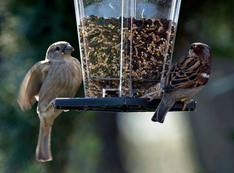 Mrs. Sparrow and Mr. Sparrow assessing the bird feeder