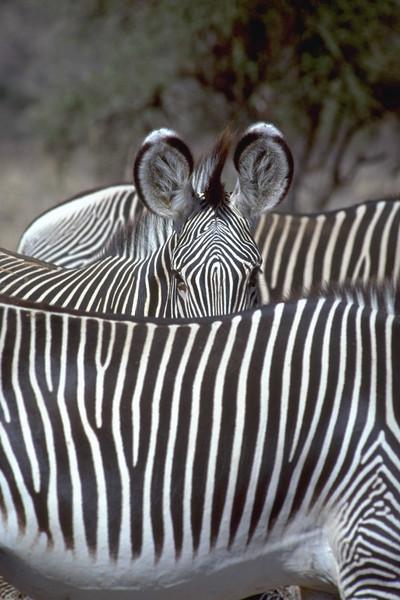 00949 Hiding Zebra.jpg